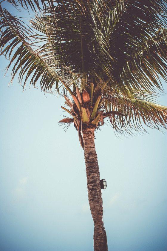 california-coconut-daylight-585005