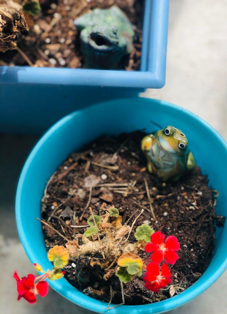 geraniums, elaina m. avalos