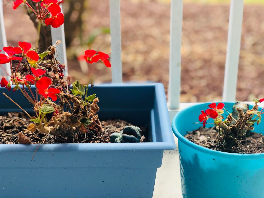 geraniums, elaina avalos, elaina m. avalos
